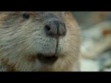 BBC: Живая природа. Ребятам о зверятах. бобры
