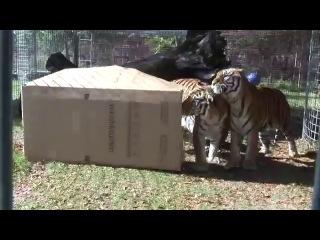 Дикие кошки и коробки