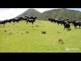 Коровы и радоиуправляемая машинка